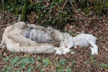 Dumping of sheep carcasses at Seskinore branded 'deplorable'